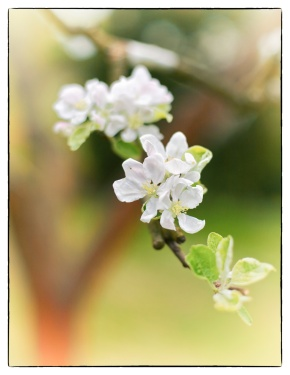 Week 15 - Apple Blossom