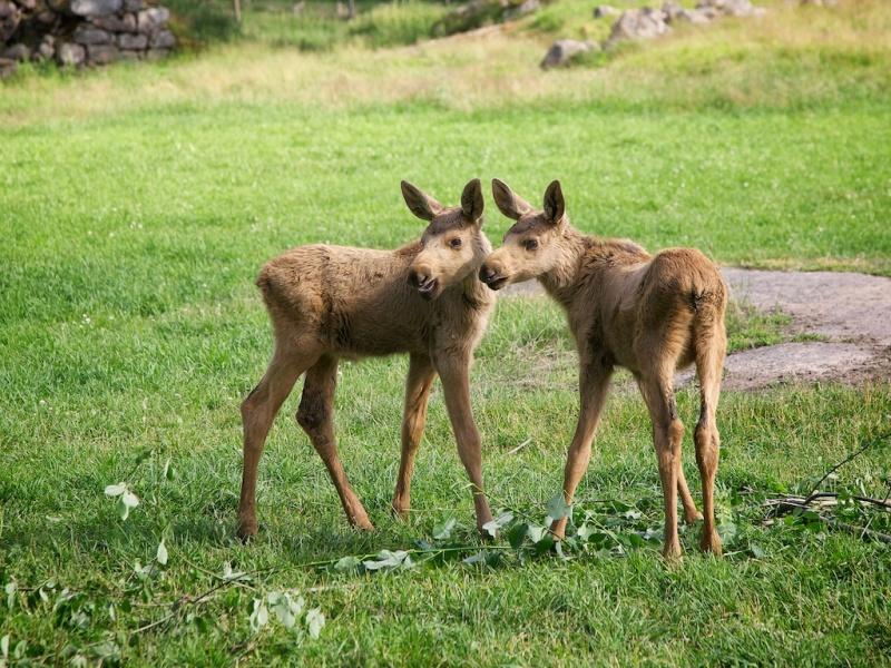 Elk Ronneby